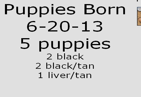 Puppies Born  6-20-13 5 puppies 2 black 2 black/tan 1 liver/tan