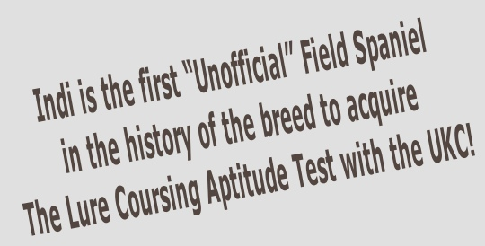 "Indi is the first ""Unofficial"" Field Spaniel  in the history of the breed to acquire  The Lure Coursing Aptitude Test with the UKC!"